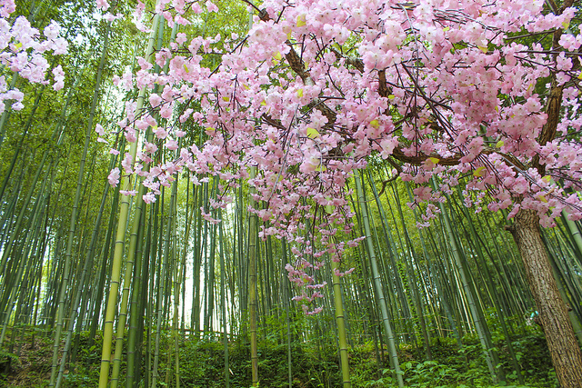 Phiêu du với rừng tre Damyang-gun