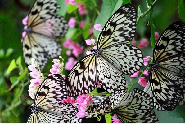 công v bướm