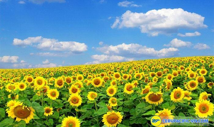 Hoa hướng dương giản dị khoe sắc