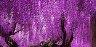 Hoa tử đăng - Cung đường hoa quyến rũ tại Nhật Bản