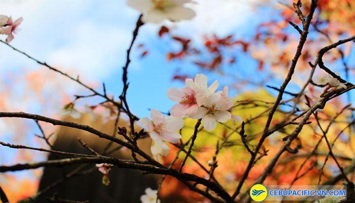 Hoa anh đào tuyệt đẹp vào mùa thu