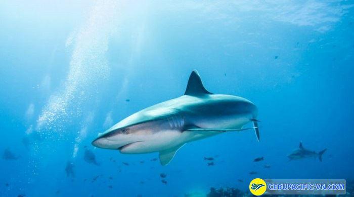 Chiêm ngưỡng cá mập tại đảo Malapascua