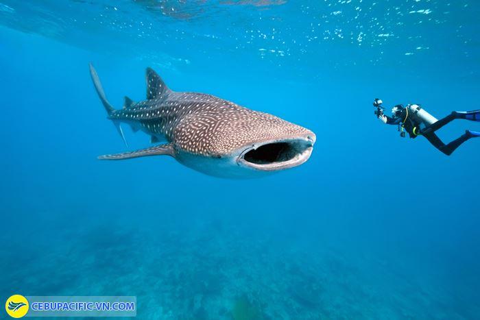 Bơi cùng những con cá mập voi