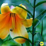 Hoa hiên vàng