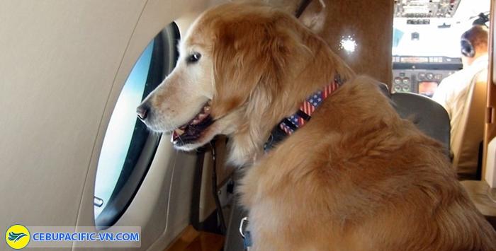Thú cưng hoàn toàn được phép mang lên máy bay
